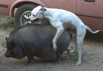 dog-humping-pig